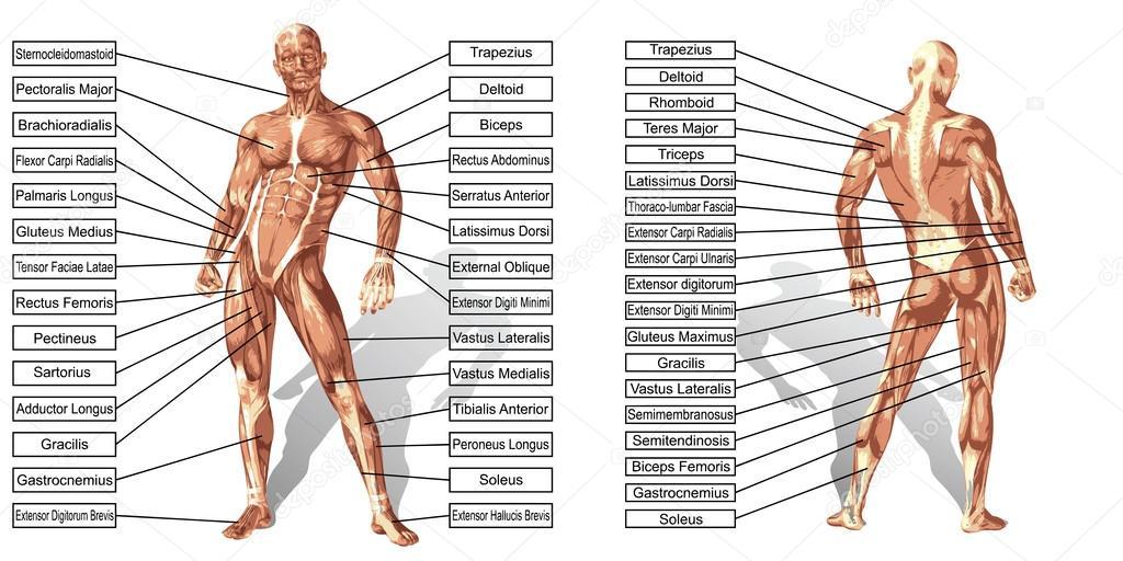 Anatomía hombre con texto aislado — Vector de stock © design36 ...