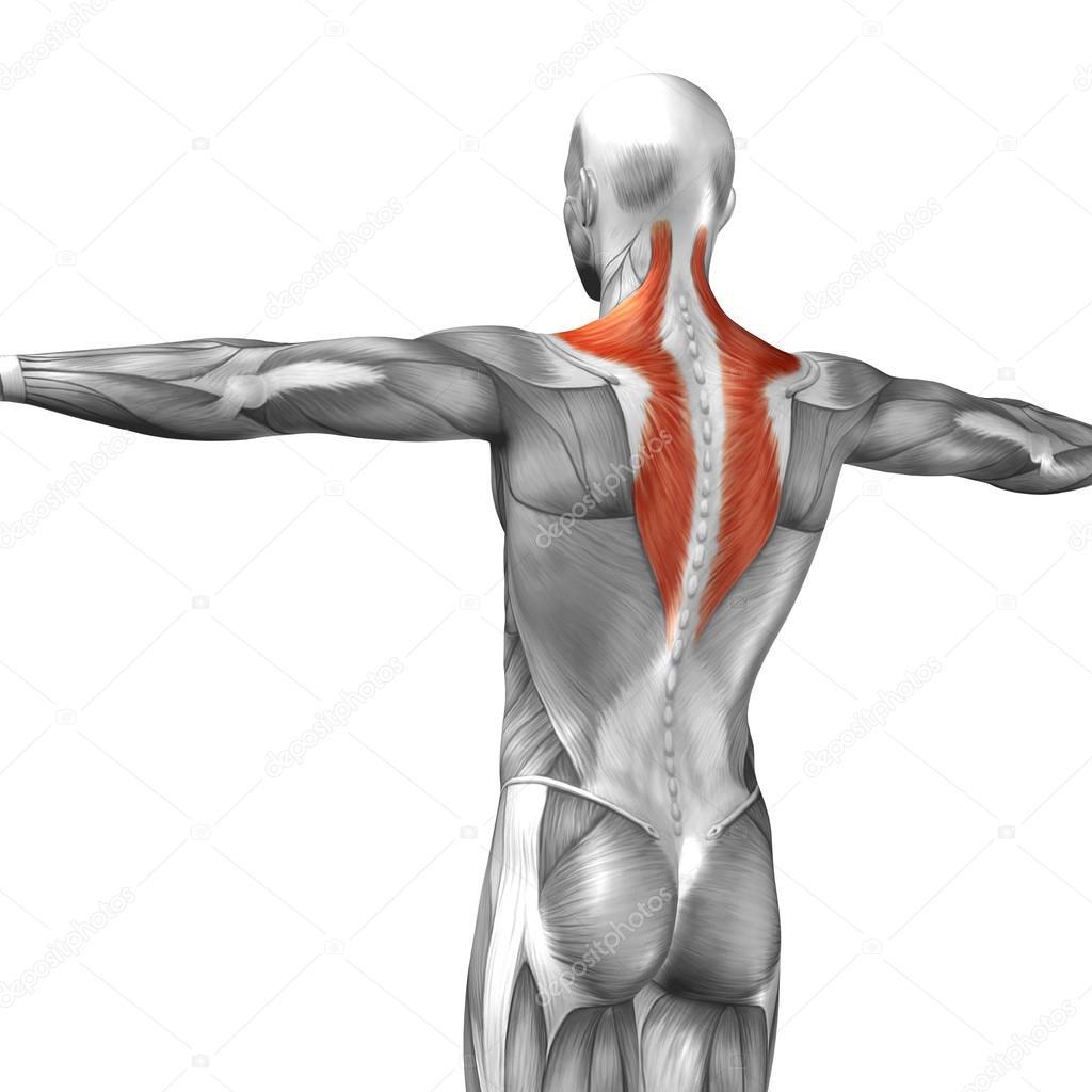 Wieder menschliche Anatomie — Stockfoto © design36 #111477866