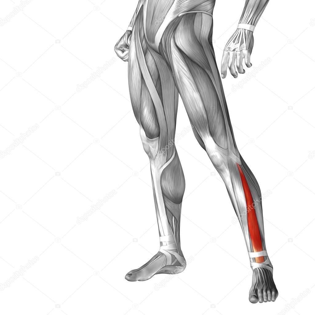 konzeptionelle menschlichen Beinen Anatomie — Stockfoto © design36 ...