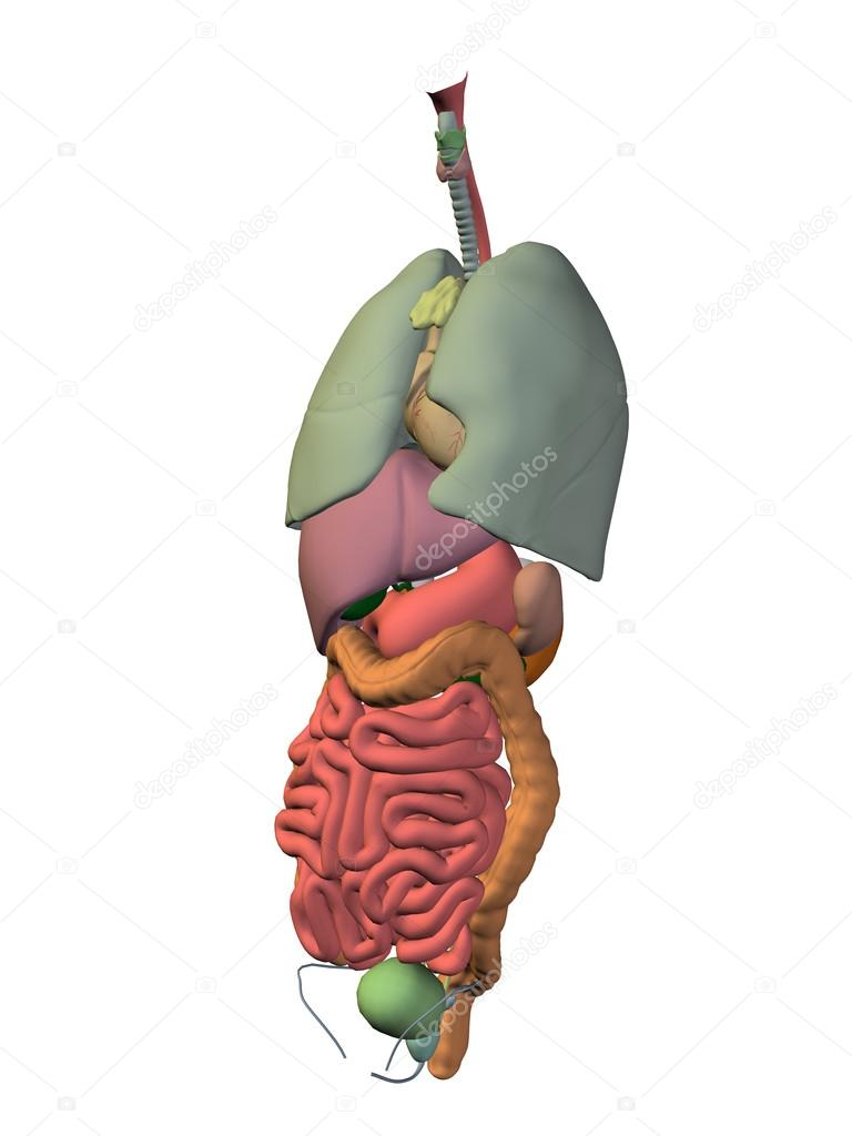 internen Abdominal-Thorax Organe — Stockfoto © design36 #111479410