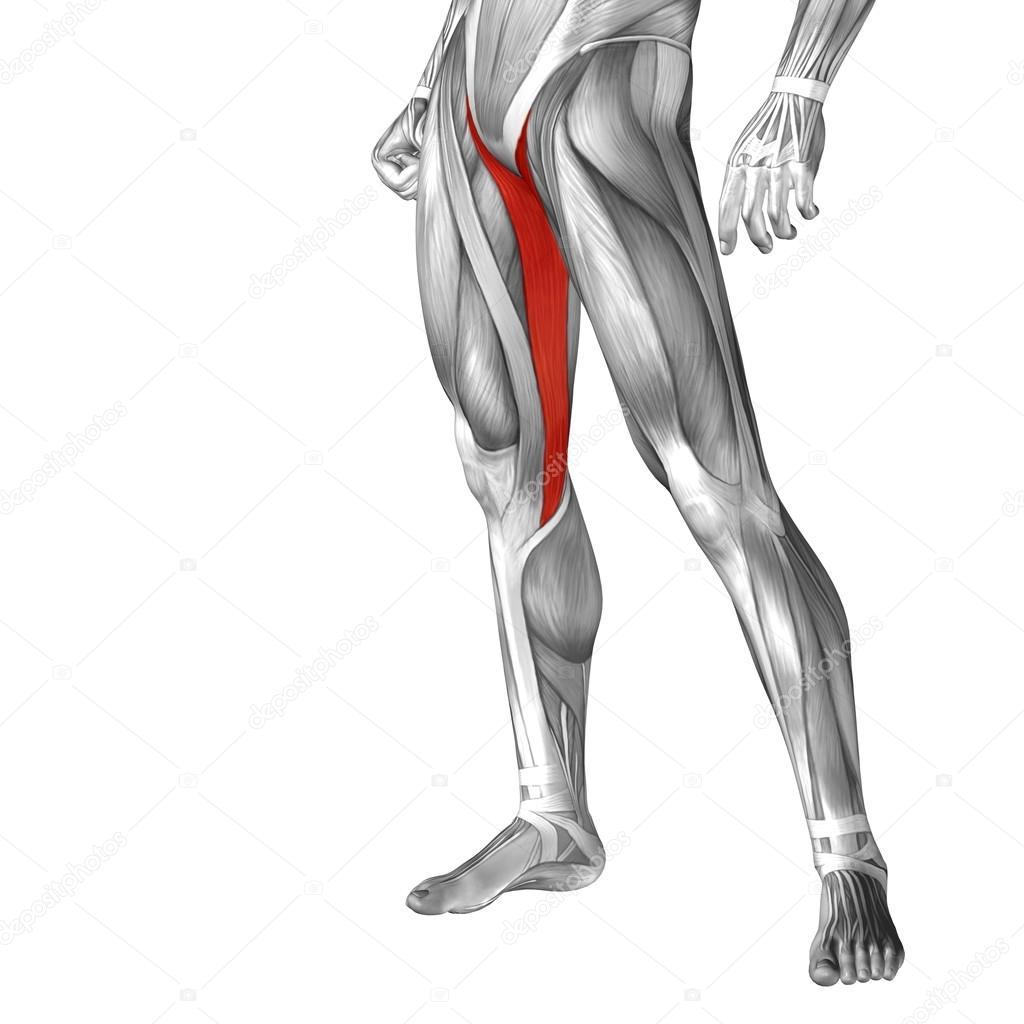 menschliche Oberschenkel-Anatomie — Stockfoto © design36 #111479502