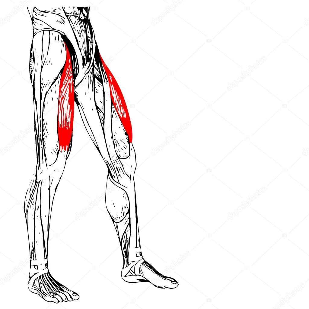 anatomía humana piernas superiores — Fotos de Stock © design36 ...