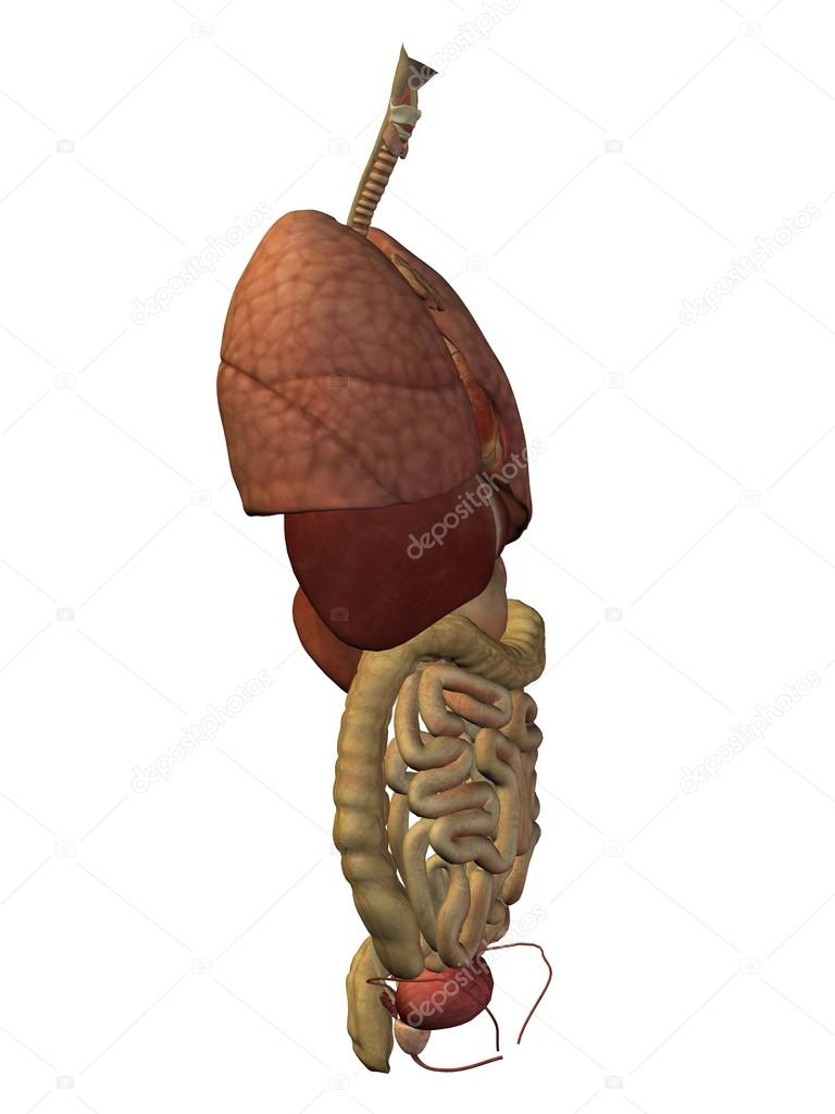 internen Abdominal-Thorax Organe — Stockfoto © design36 #111480648