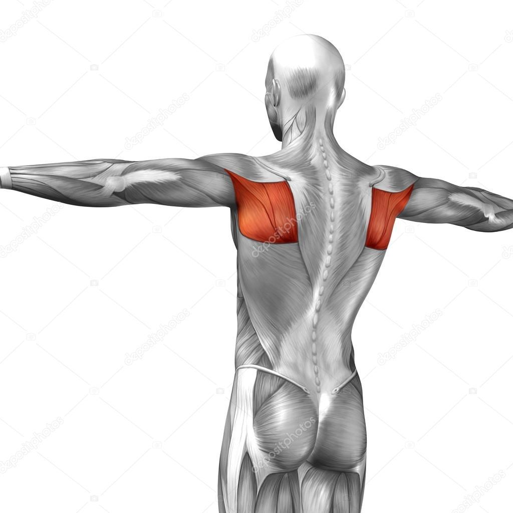 Wieder menschliche Anatomie — Stockfoto © design36 #111481132
