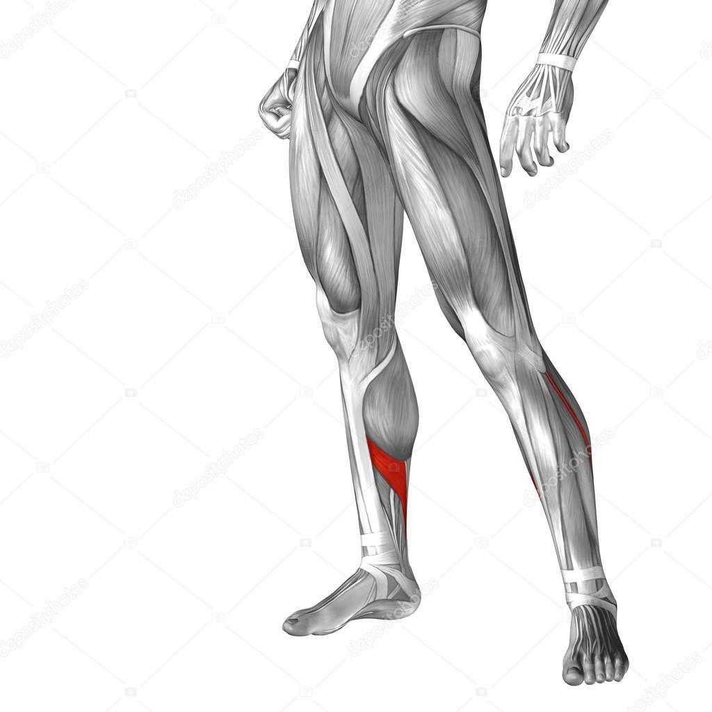 Anatomía conceptual de las piernas humanas — Foto de stock ...