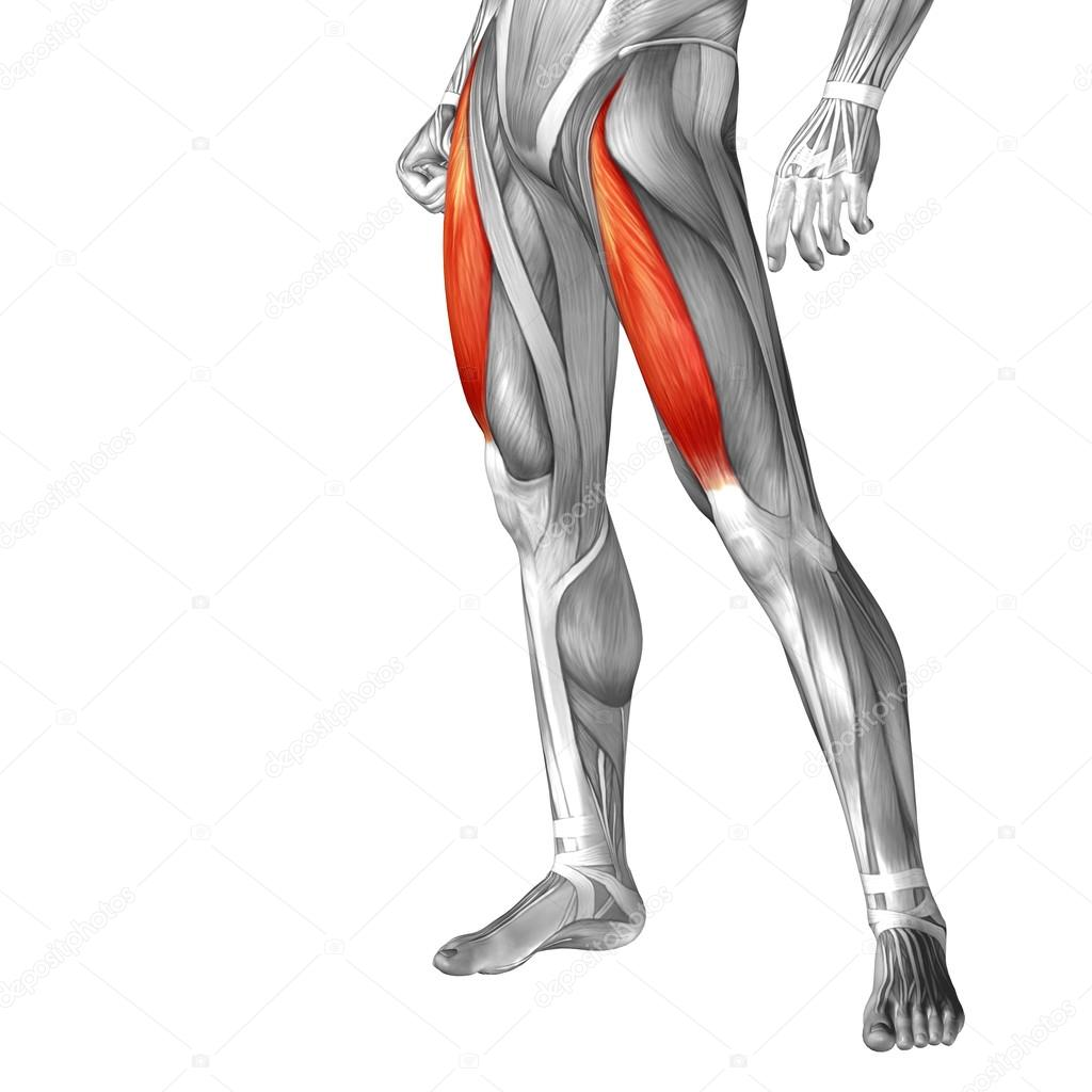 human upper legs anatomy — Stock Photo © design36 #111481250