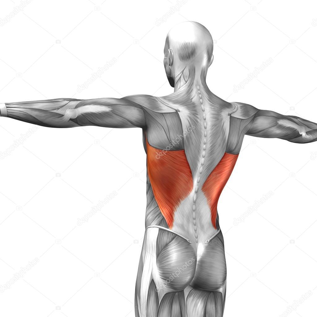 Wieder menschliche Anatomie — Stockfoto © design36 #111483092