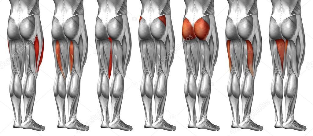 Upper Legs Anatomy Stock Photo Design36 111754418