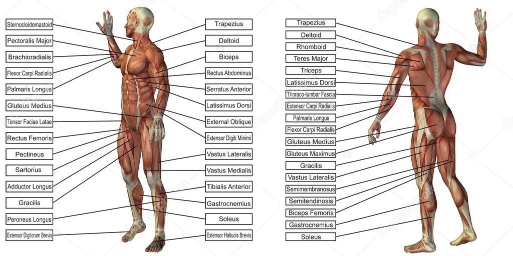 grundlegende menschliche Anatomie — Stockfoto © design36 #111755202