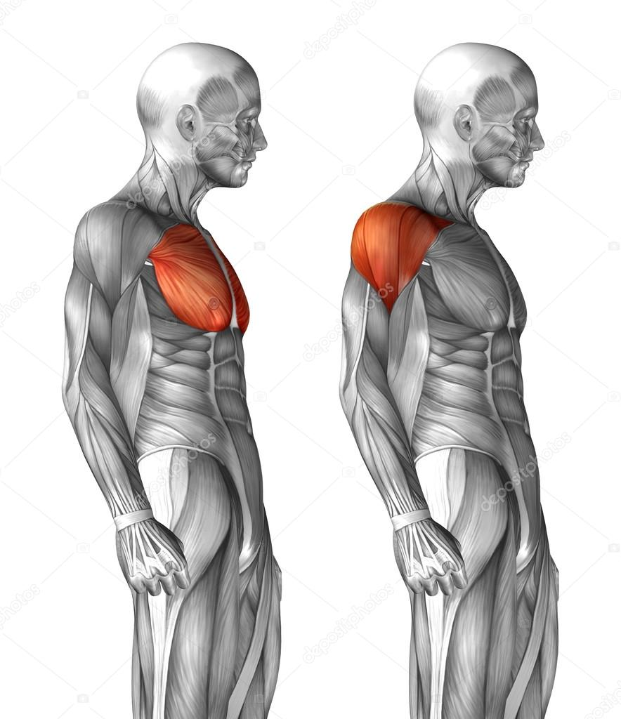 Anatomía del pecho — Foto de stock © design36 #111757036