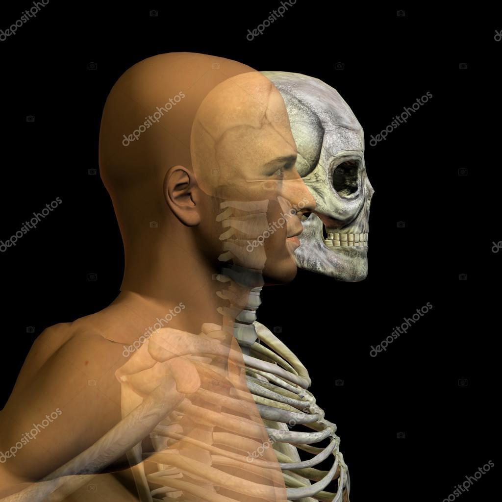 Anatomía huesos y cara — Fotos de Stock © design36 #111759454