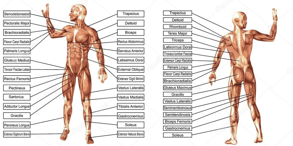 Mann Muskeln Anatomie mit text — Stockvektor © design36 #111753738