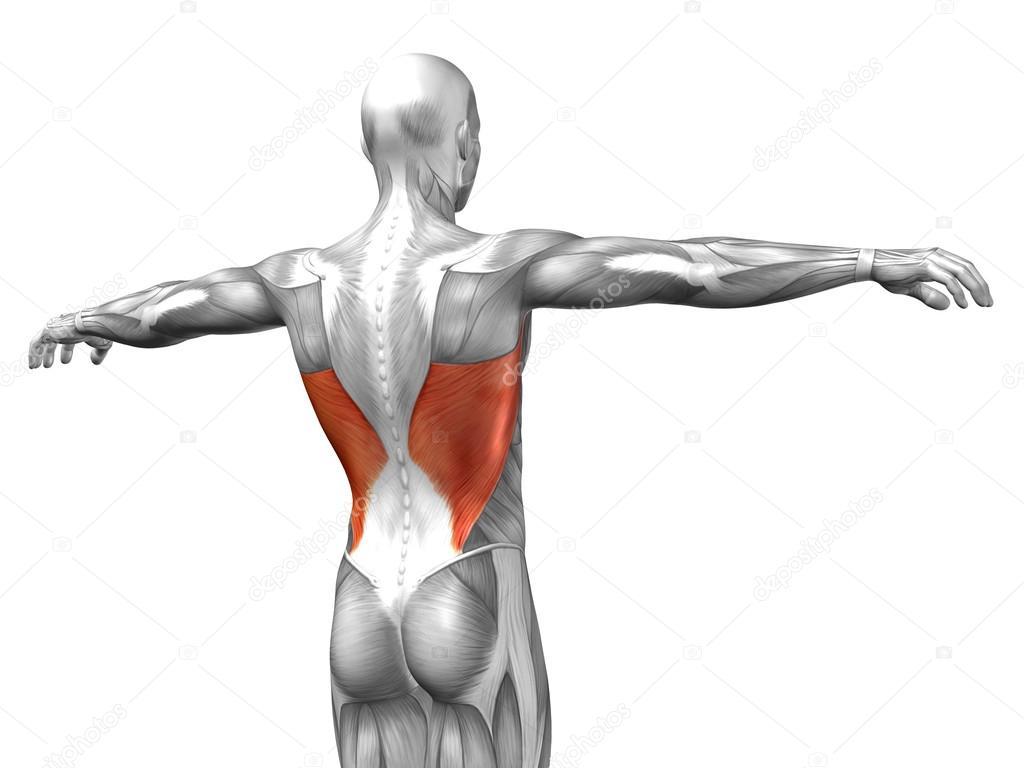 Wieder menschliche Anatomie — Stockfoto © design36 #120117306