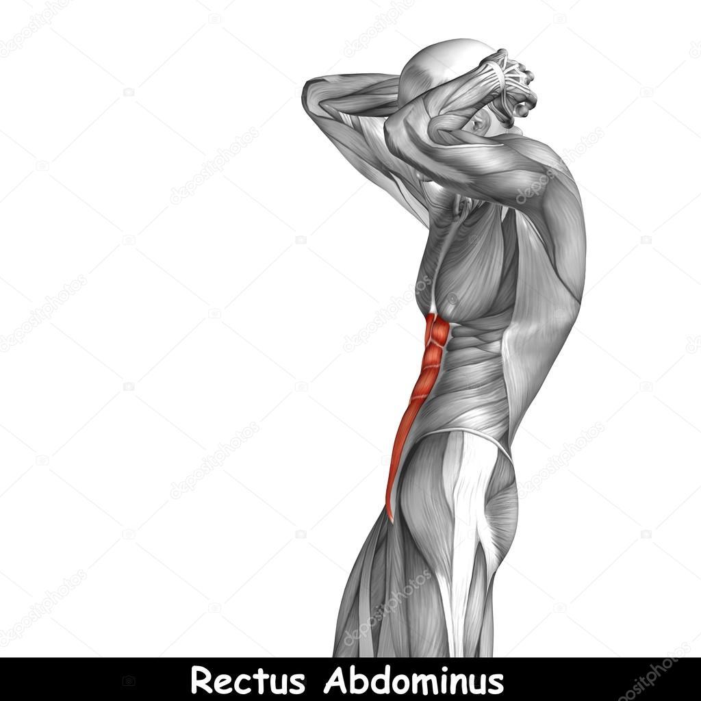 Menschliche Anatomie der Brust — Stockfoto © design36 #120117480