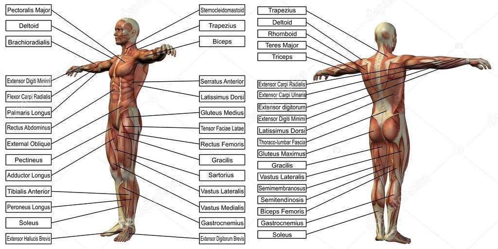 Mann-Anatomie und Muskel-Textfelder — Stockfoto © design36 #120118114
