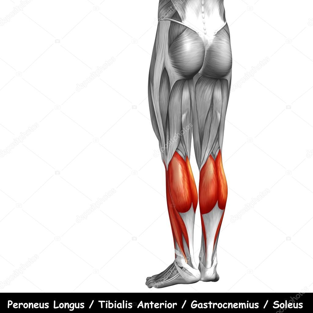 Anatomía de la pierna inferior — Foto de stock © design36 #120118364