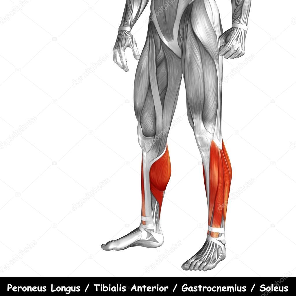 Human Lower Leg Anatomy Stock Photo Design36 120119220