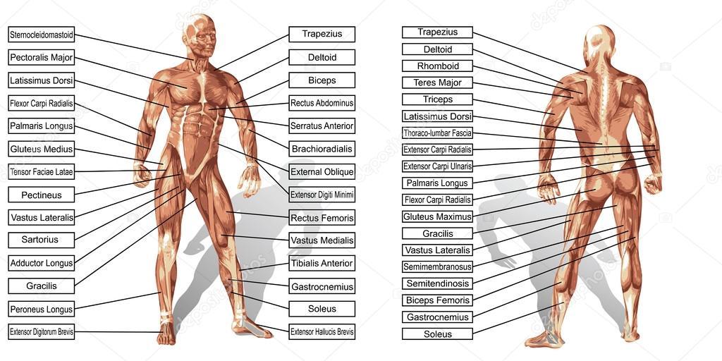 Mann Muskeln Anatomie mit text — Stockvektor © design36 #120116818