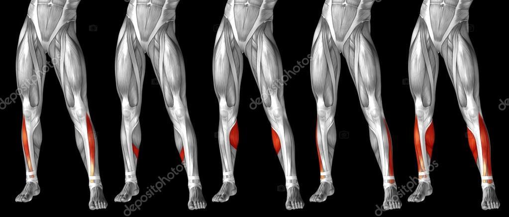 human lower legs anatomy — Stock Photo © design36 #120120942