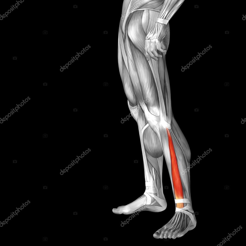 Anatomía de las piernas más baja — Fotos de Stock © design36 #120121842