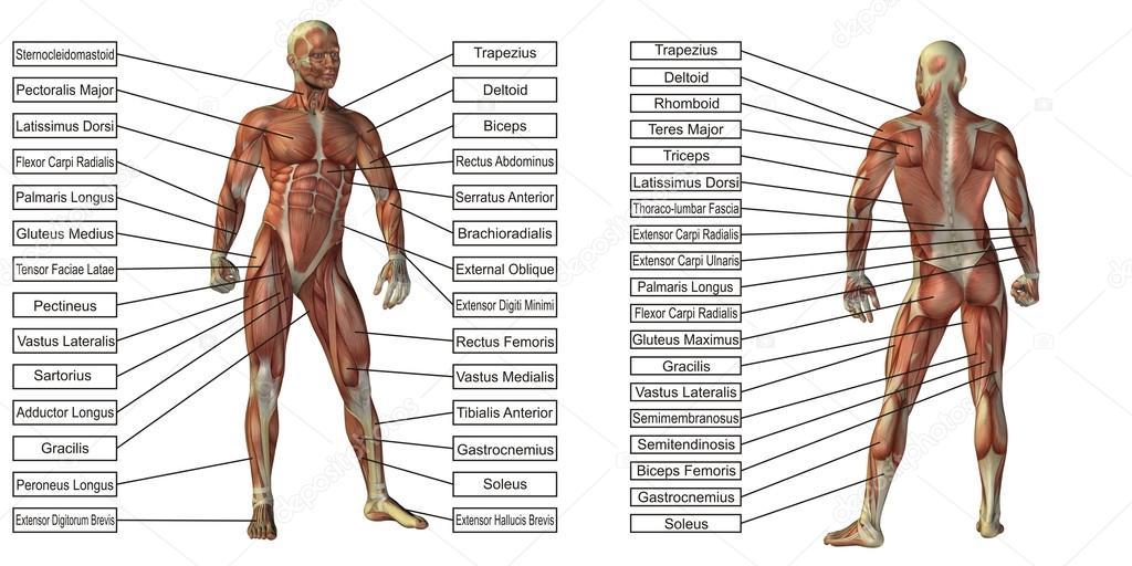 Mann-Anatomie und Muskel-Textfelder — Stockfoto © design36 #120123132
