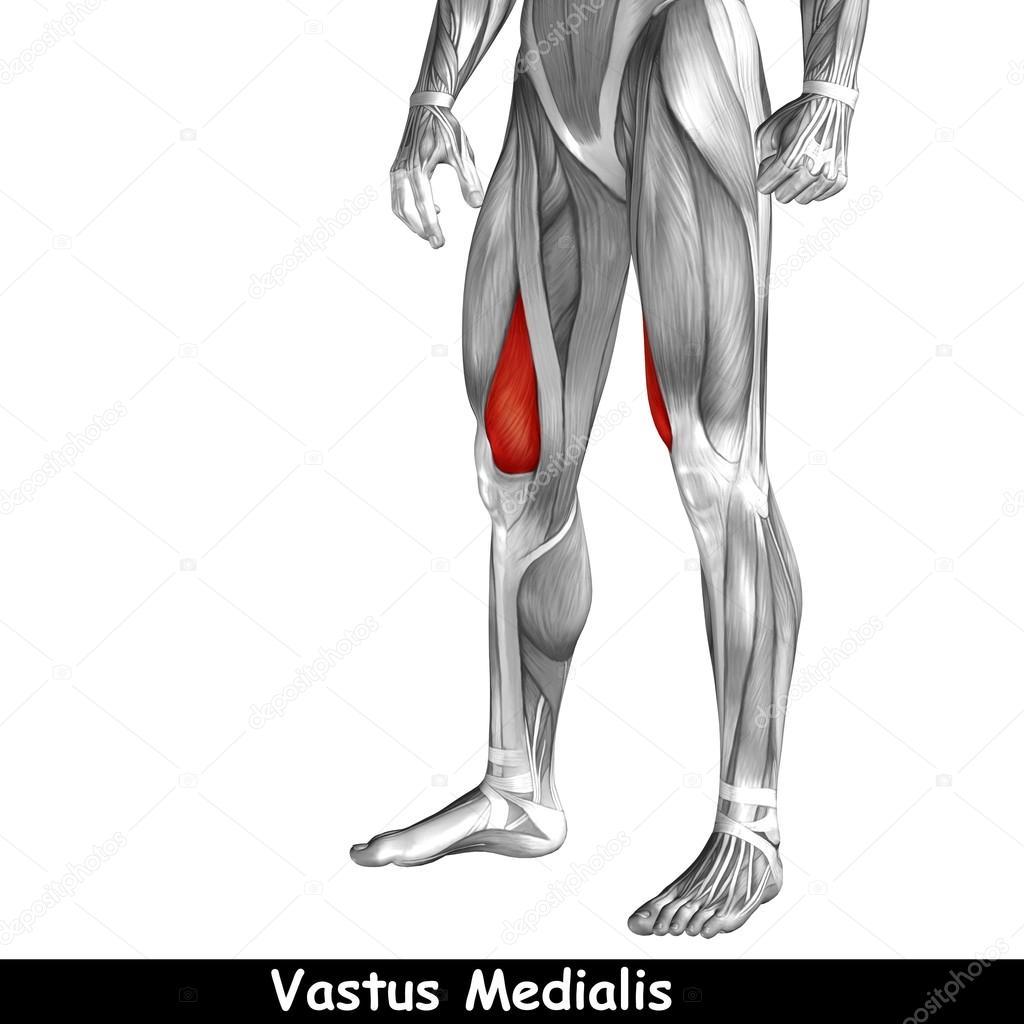 human upper legs anatomy — Stock Photo © design36 #120125768