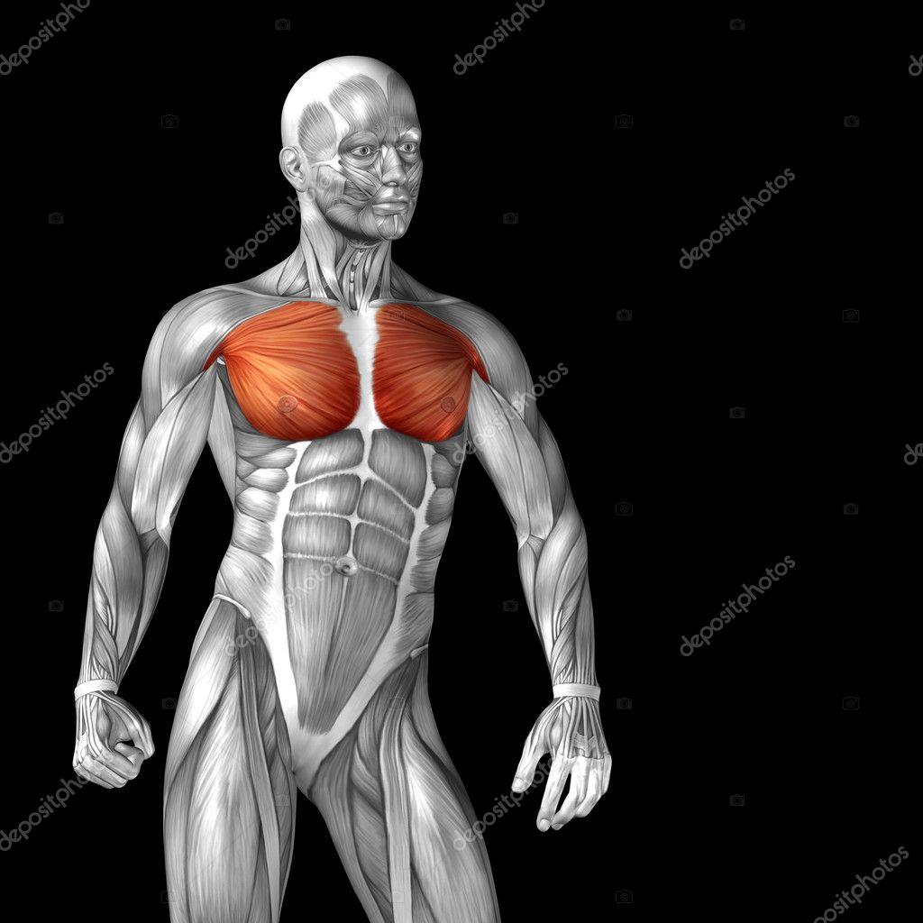Menschliche Anatomie der Brust — Stockfoto © design36 #120126516