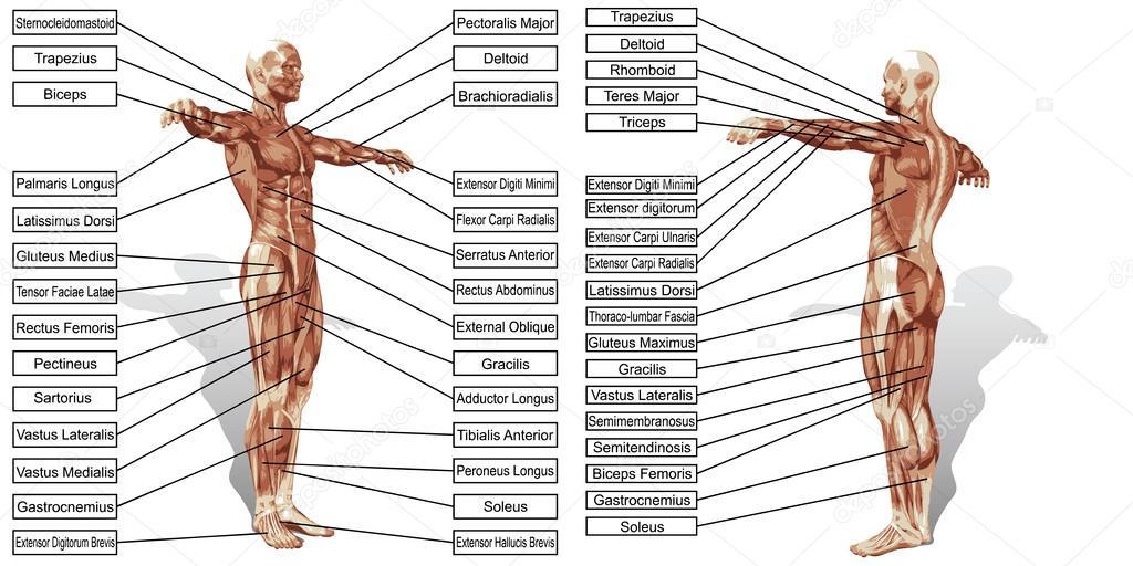 Mann Muskeln Anatomie — Stockvektor © design36 #120120050