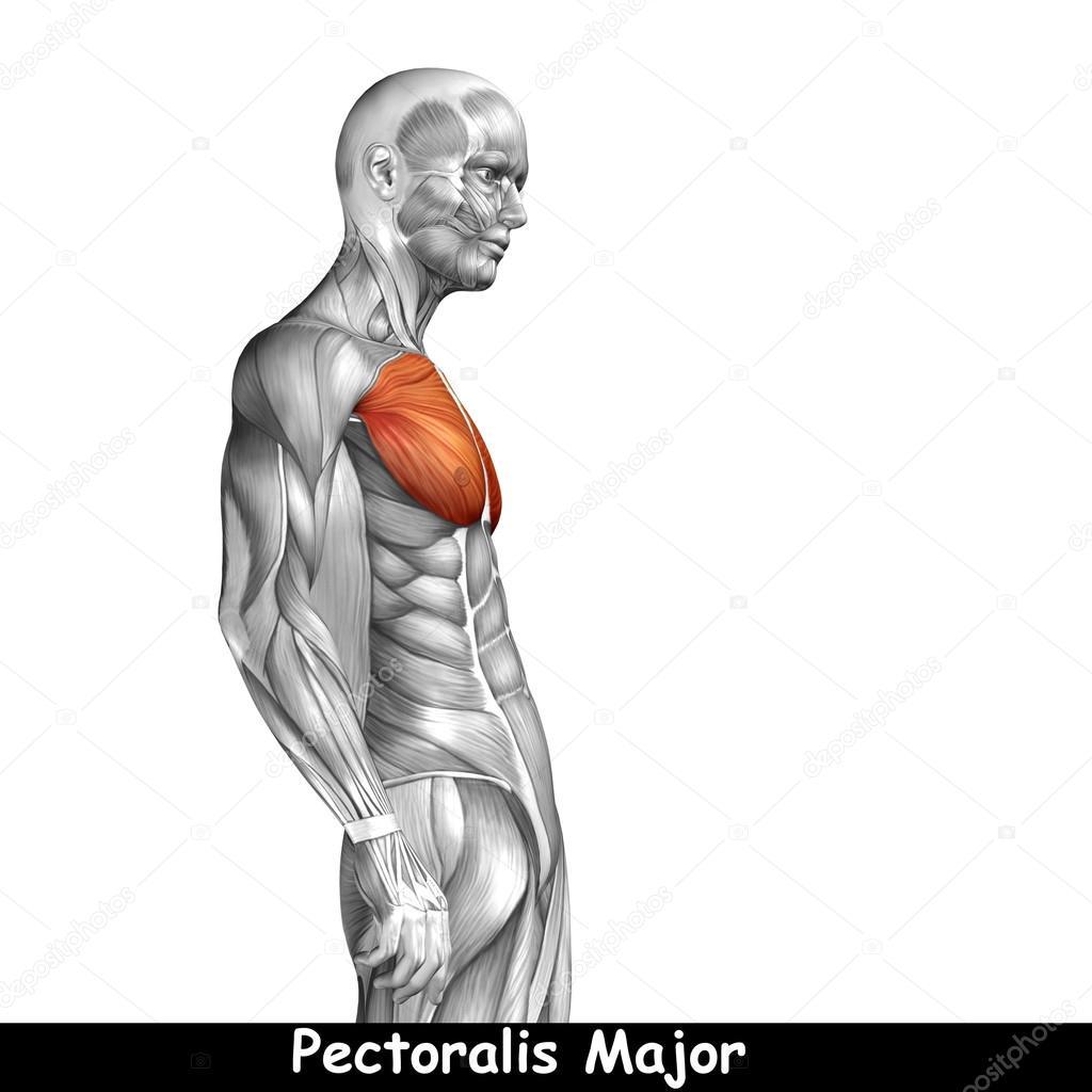 Anatomía del pecho — Fotos de Stock © design36 #120130538