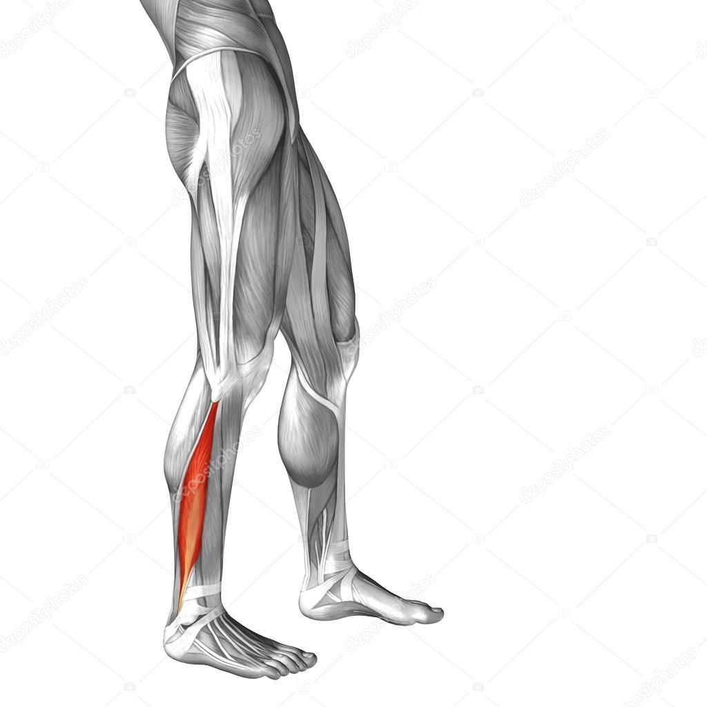 Anatomía de la pierna inferior — Foto de stock © design36 #120130586