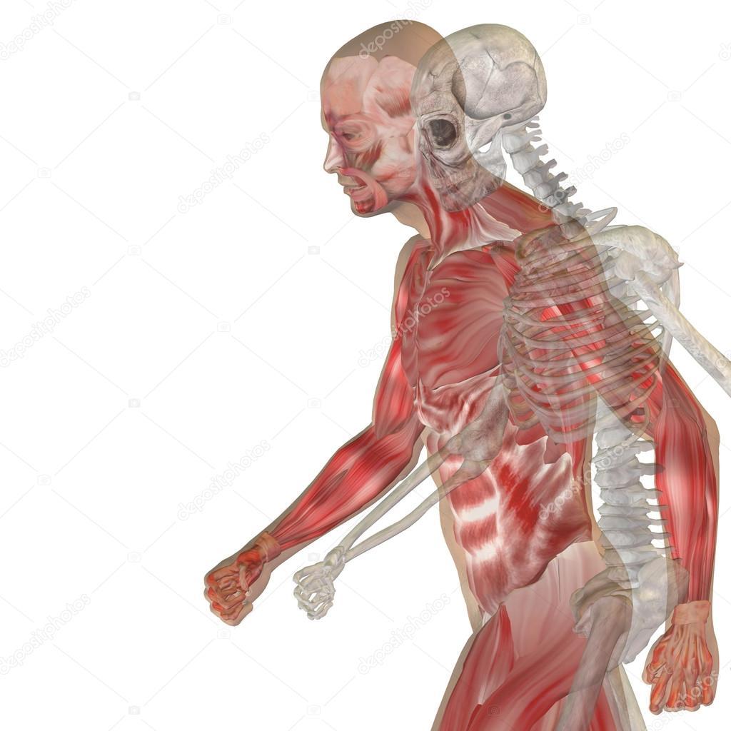 Menschliche Anatomie mit Knochen — Stockfoto © design36 #120133730
