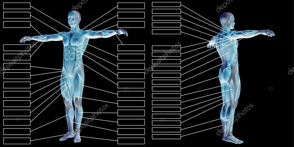 Mann-Anatomie und Muskel-Textfelder — Stockfoto © design36 #120135830