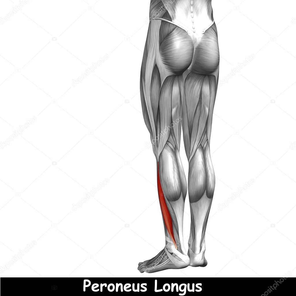 Anatomía de la pierna inferior — Foto de stock © design36 #120136400