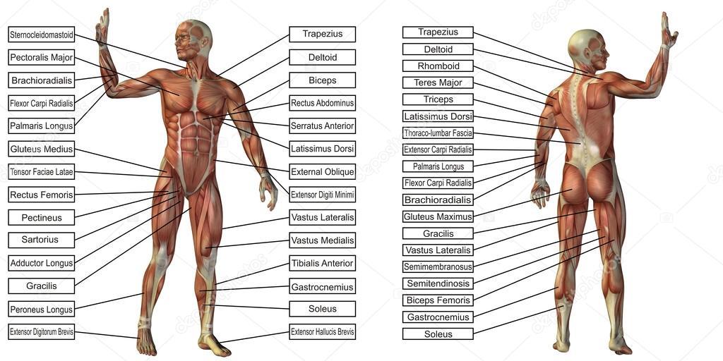 Mann-Anatomie und Muskel-Textfelder — Stockfoto © design36 #120137638