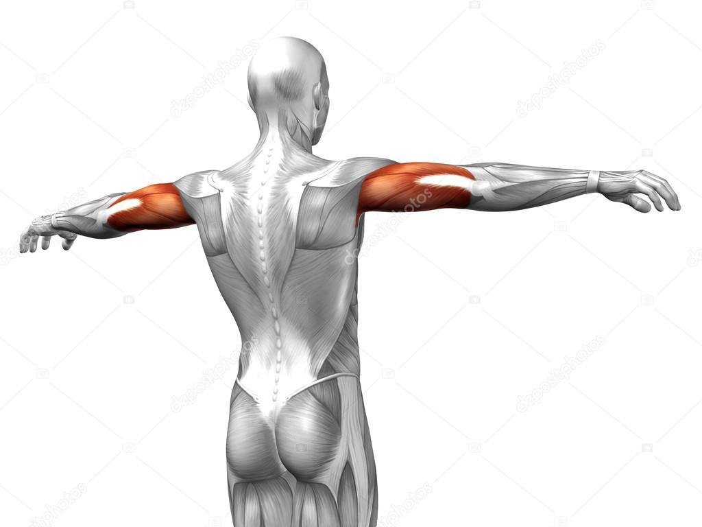 Trizeps menschliche Anatomie — Stockfoto © design36 #120140790