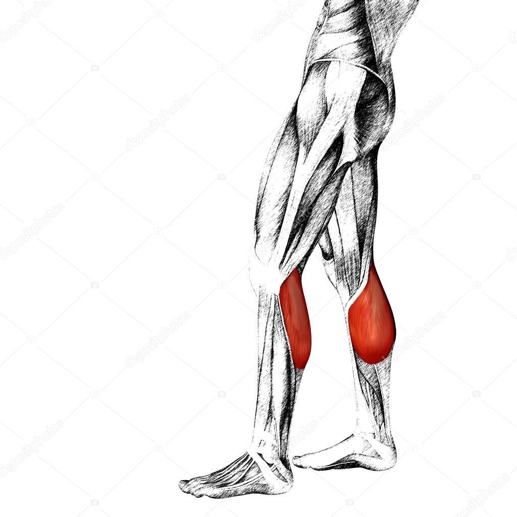 Gemütlich Ellenbogen Anatomie Muskeln Bilder - Menschliche Anatomie ...