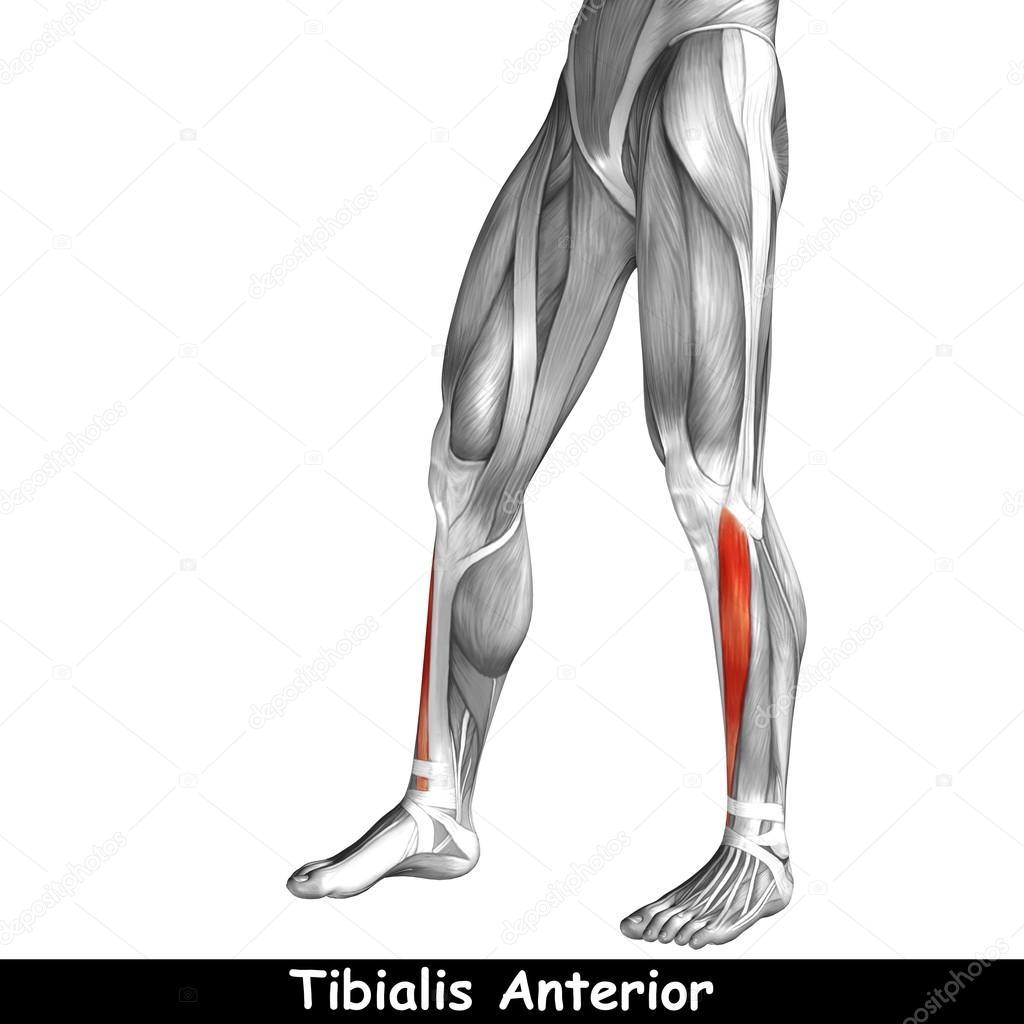 untere Bein Anatomie — Stockfoto © design36 #120148688
