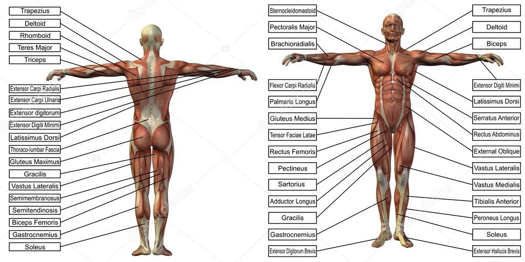 Mann-Anatomie und Muskel-Textfelder — Stockfoto © design36 #120149430