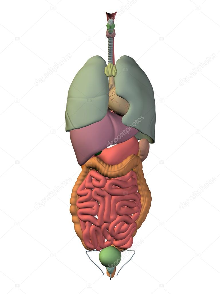 Internal Abdominal Organs Stock Photo Design36 120149646