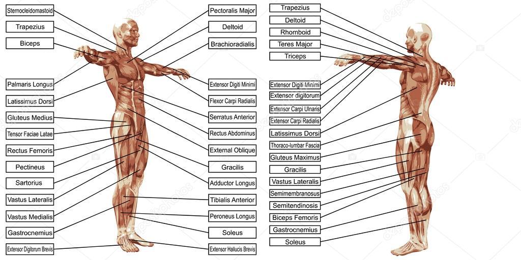 Anatomía de los músculos del hombre con el texto — Archivo Imágenes ...
