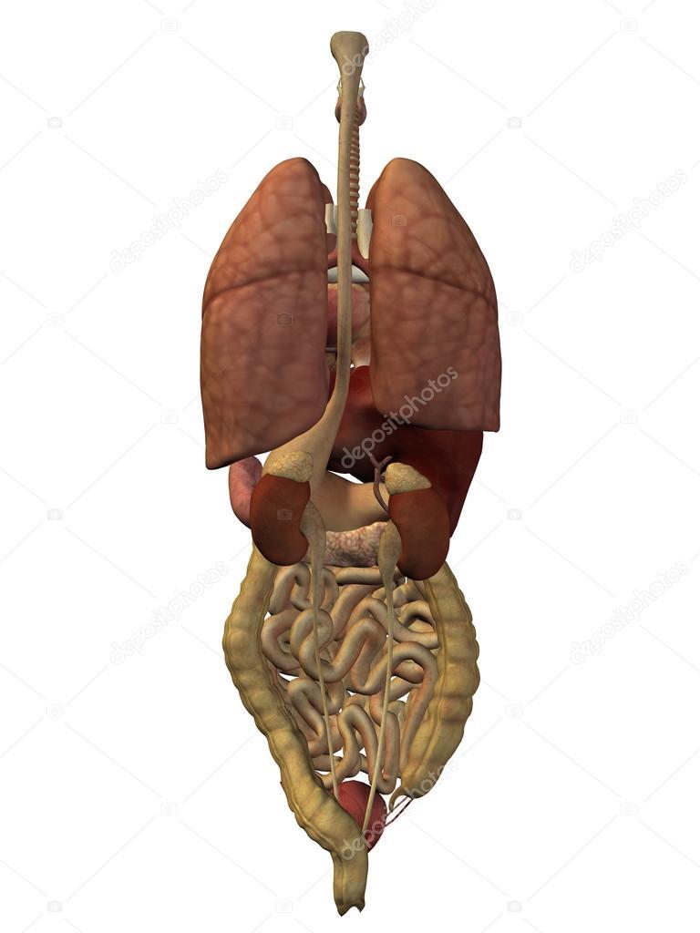 internal abdominal organs — Stock Photo © design36 #120152022