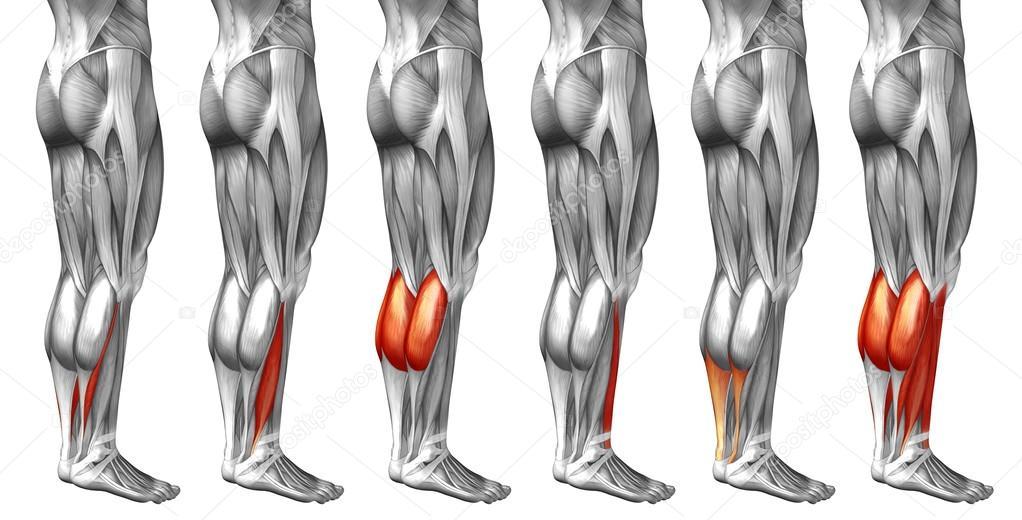 Anatomie der Beine und Muskeln — Stockfoto © design36 #123084820