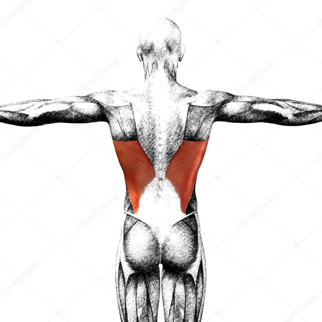 Atemberaubend Zurück Muskeltabelle Anatomie Fotos - Menschliche ...