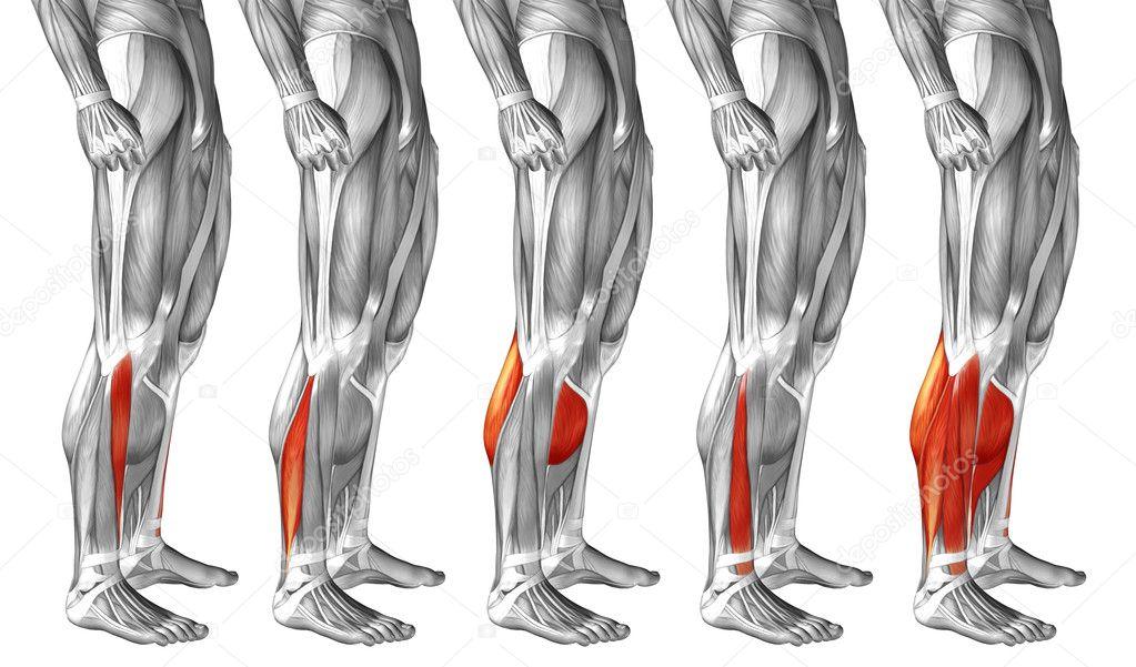 Anatomie der Beine und Muskeln — Stockfoto © design36 #123087314