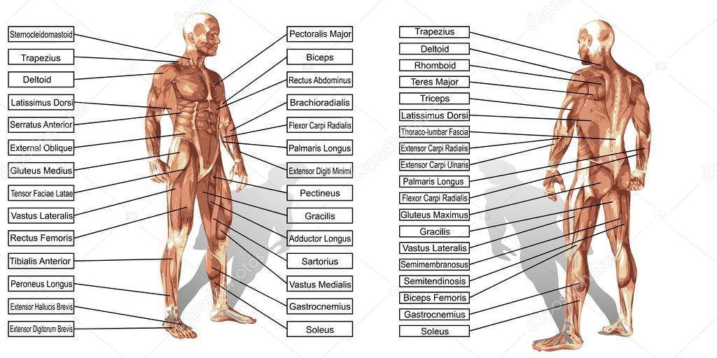 Mann Muskeln Anatomie — Stockvektor © design36 #123081792