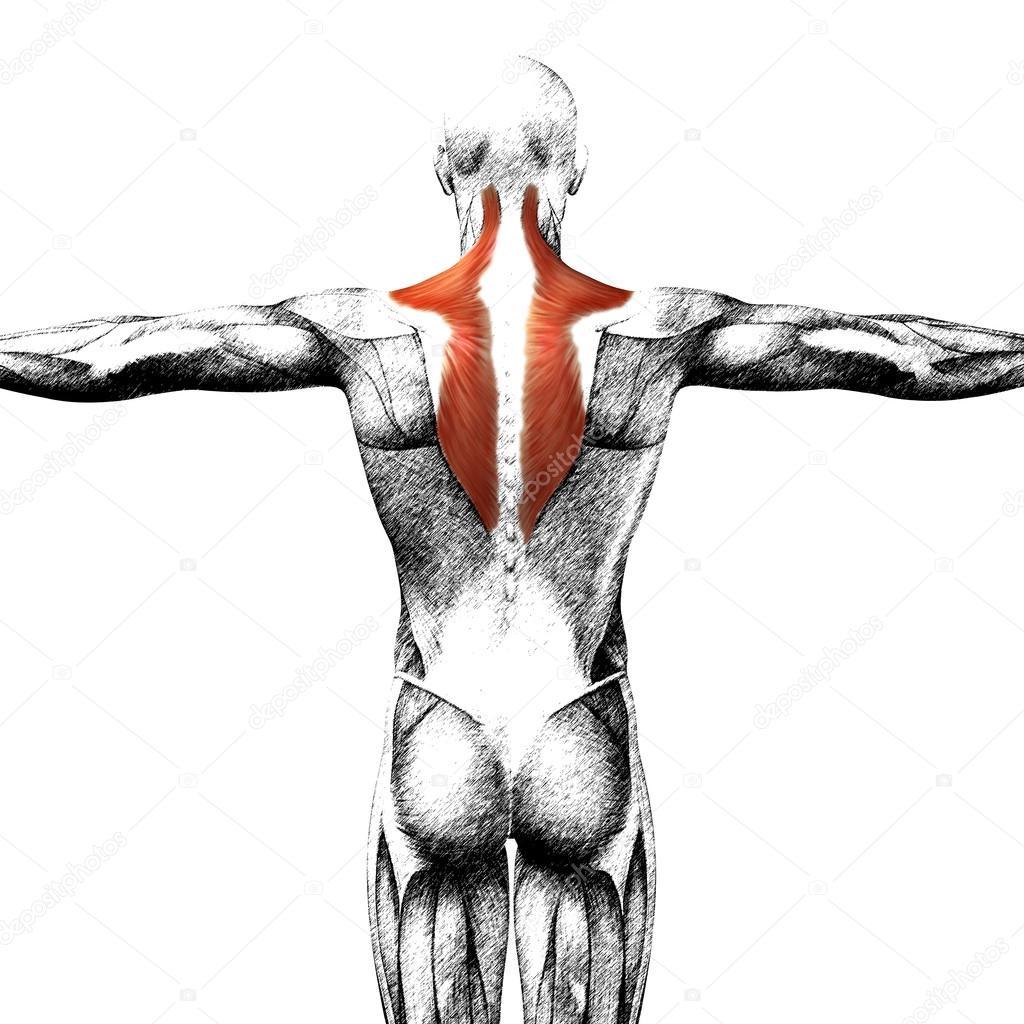 Anatomía humana de nuevo — Foto de stock © design36 #123091482