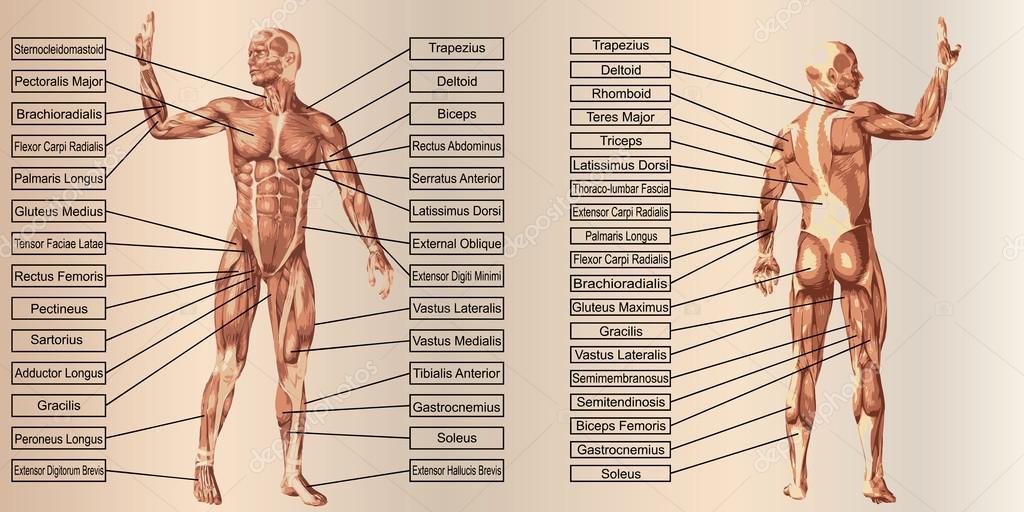 menschliche Anatomie mit Muskeln und text — Stockfoto © design36 ...