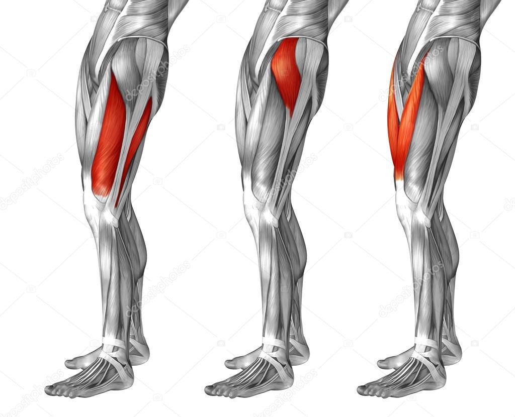 Oberschenkel-Anatomie, set — Stockfoto © design36 #123100704