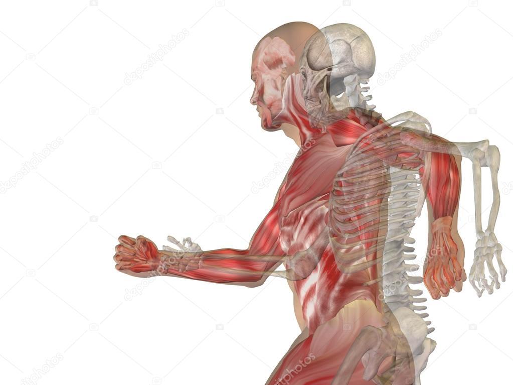 Menschliche Anatomie mit Knochen — Stockfoto © design36 #123101056