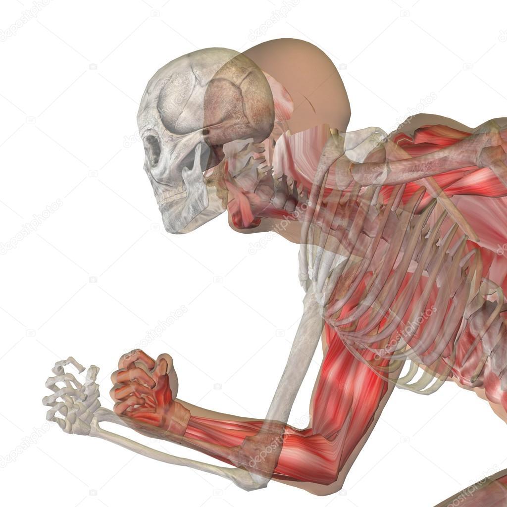 Menschliche Anatomie mit Knochen — Stockfoto © design36 #123101308